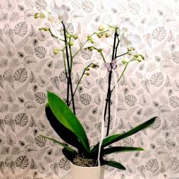 Orchidee mit Topf