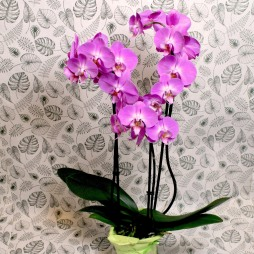 Orchidee ohne Topf