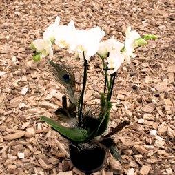 1. Orchidee